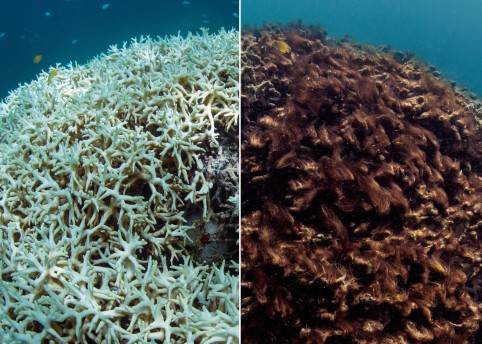 Image from globalcoralbleaching.org
